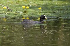 Coot in nature park Royalty Free Stock Image