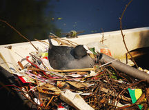 Coot on nest Stock Images