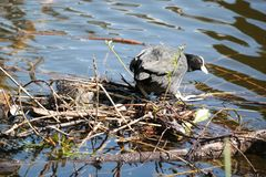Coot nest Stock Image