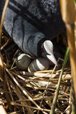 Coot on nest with eggs in reeds Royalty Free Stock Photos