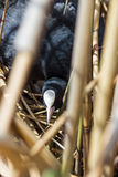 Coot on nest with eggs in reeds Stock Photo