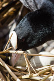 Coot on nest with eggs in reeds Stock Images