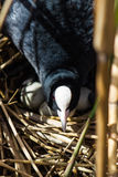 Coot on nest with eggs in reeds Royalty Free Stock Photo