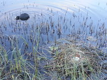 Coot with nest and egss Stock Image