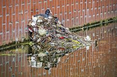 Coot on a nest of trash stock image