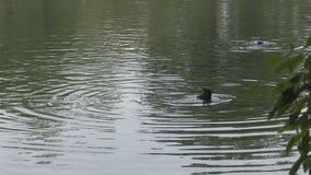 Coot nurkuje w jeziorze zbiory