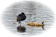 Coot on one leg. Coot (Fulica atra) standing on one leg in the lake is warming its plumage in the last rays of the evening sun Royalty Free Stock Photo