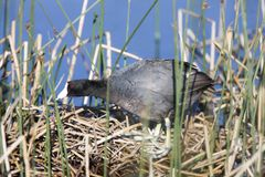 Coot Or Waterhen Sitting On Eggs Stock Photos