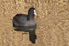 A coot on the Ornamental Pond, Southampton Common Stock Image