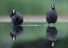 Coot pair. The picture was taken in Hungary Royalty Free Stock Photos