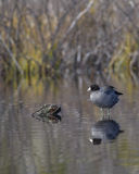 Coot perched on submerged log. Royalty Free Stock Image