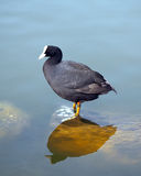 Coot Royalty Free Stock Images