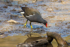 Coot. Picture of a Cool walking in muddy banking at the edge of a puddle stock photo