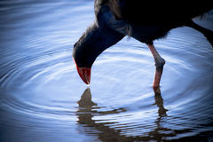 Coot Pond Droplet Stock Photos