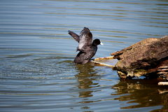 A coot in a pond. A coot is drying itself in a pond Royalty Free Stock Photos