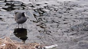 Coot in preening and ducks on a river with little waves stock footage