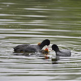 Coot rallidae fulica water bird family swimming on lake with chi Stock Photos