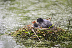 Coot  rallidae fulica water bird on nest with chicks in Britain Stock Photos