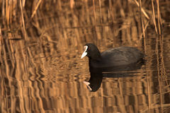 Coot by reed beds Fulica atra UK wildlife Royalty Free Stock Images