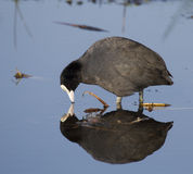 Coot with reflection. At Greylake nature reserve Stock Images
