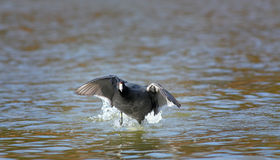 Coot on the Run Royalty Free Stock Photo