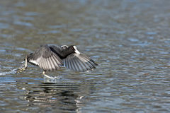 A coot running across the water Royalty Free Stock Photo