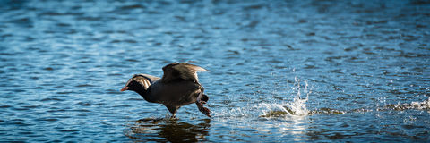 Coot Running On Water Royalty Free Stock Photos