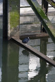 Coot on a rusty steel Construction Royalty Free Stock Image