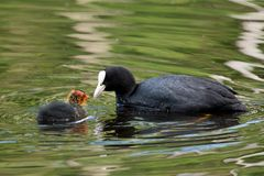 Coot and it's offspring Royalty Free Stock Images