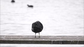 Coot selfcleaning stock footage