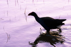 Coot Silhouette Royalty Free Stock Photography