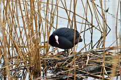 Coot sits on the nest Stock Photos