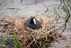 A coot sitting on its nest of twigs on the waters edge. A coot sitting on its eggs in the nest of twigs on the waters edge of a lake royalty free stock photography