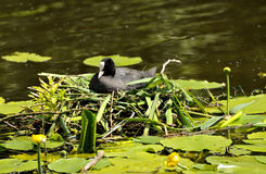 Coot sitting on nest. Coot sits on nest on clump of vegetation in lake in London Royalty Free Stock Photo