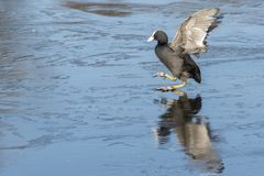 A coot slipping on the ice : Southampton Common. A coot slipping on the ice on the Cemetery Lake, Southampton Common, Hampshire, UK Royalty Free Stock Photo