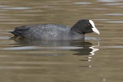 A coot on Southampton Common. A coot at the Cemetery Lake on southampton common royalty free stock photo