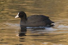 A Coot on Southampton Common royalty free stock photography