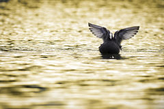 Coot while spreads its wings Stock Photos