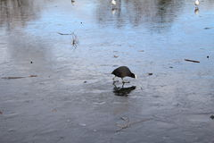 Coot standing on ice. Coot on lake standing on ice Royalty Free Stock Photos