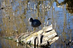 Coot in a pond. Coot standing on remains of a fallen tree in a pond Royalty Free Stock Photography