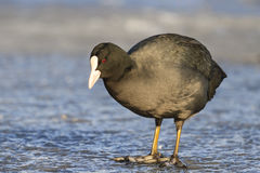 Coot standing on a transparent ice of the frozen lake Royalty Free Stock Photo