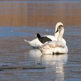 Coot standing between two swans Royalty Free Stock Images
