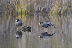 Coot stretches its leg. Royalty Free Stock Photos