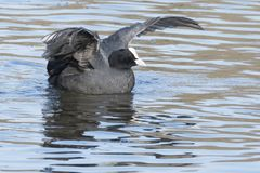 A coot  stretching its wings on the Ornamental Pond Royalty Free Stock Images