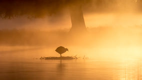 Coot at sunrise. A Coot standing on an old nest at first light royalty free stock photos