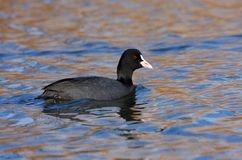 Coot swimming Stock Photography