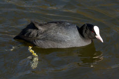 A coot is swimming. In a lake Royalty Free Stock Image