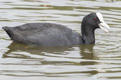 A coot on the Cemetery Lake on Southampton Common. A coot swimming on the Cemetery Lake on Southampton Common stock photography
