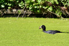 Coot swimming through duckweed Stock Photos