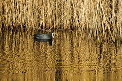 Coot Swimming Royalty Free Stock Photos